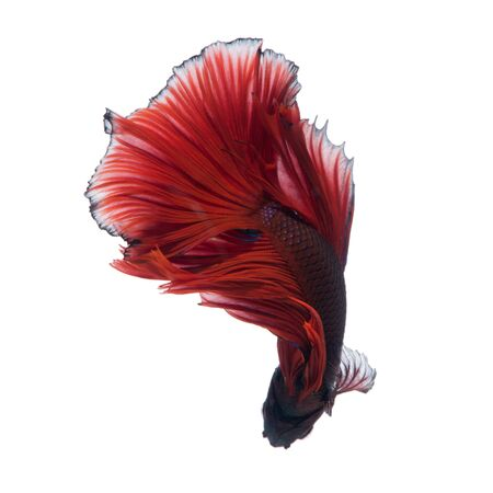 dragon swim: Capture the moving moment of red siamese fighting fish isolated on white background. Stock Photo