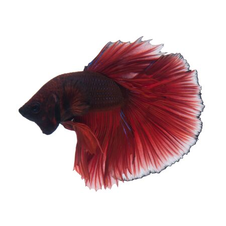 capture the moment: Capture the moving moment of red siamese fighting fish isolated on white background. Stock Photo