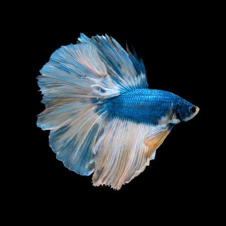 fish tail: Capture the moving moment of blue siamese fighting fish isolated on black background.