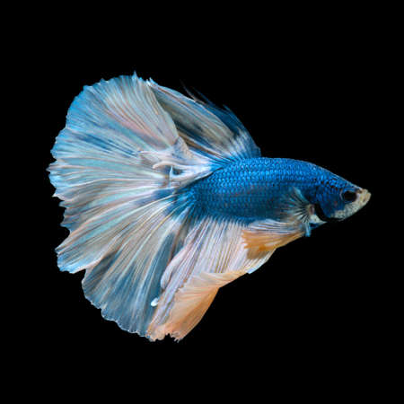 dragon swim: Capture the moving moment of blue siamese fighting fish isolated on black background.