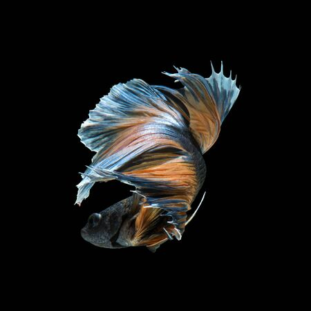 dragon swim: Capture the moving moment of yellow blue siamese fighting fish isolated on black background.