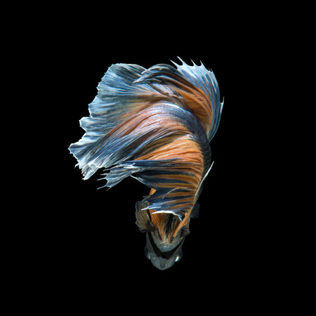 Capture the moving moment of yellow blue siamese fighting fish isolated on black background.
