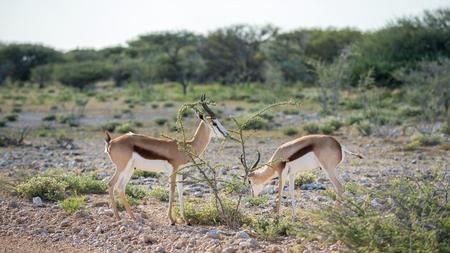 antidorcas: Springboks (Antidorcas marsupialis) on the savannah of Etosha, Namibia Stock Photo