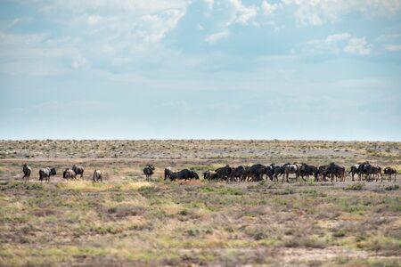 wildebeest in national park etosha namibia africa