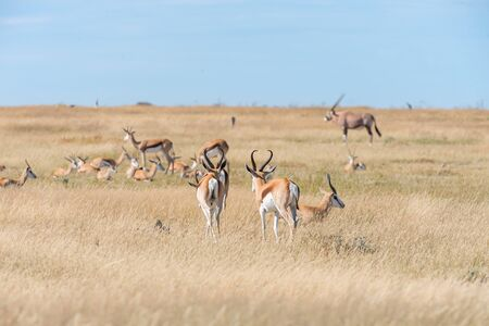 antidorcas: A group of Springboks and Oryx in the Etosha national park in Namibia