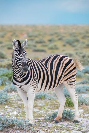 A plains (Burchells) zebra (Equus burchelli), Etosha National Park, Namibia