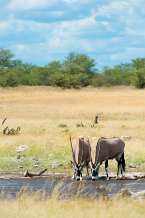 Beautiful group of oryx in the savannah of Etosha National Park in Namibia