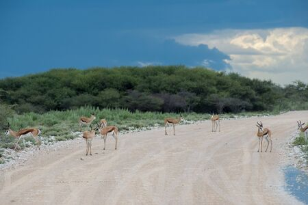 antidorcas: Springboks in the Etosha national park in Namibia