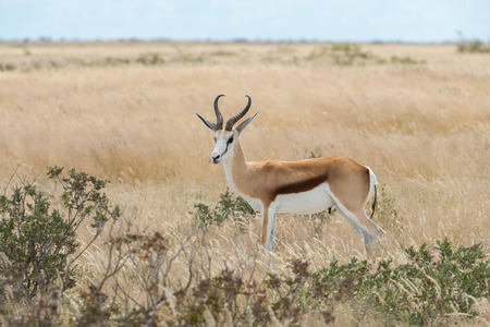 antidorcas: Springbok (Antidorcas marsupialis) isolated on the savannah of Etosha, Namibia