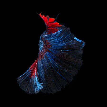 Capture the moving moment of red-blue siamese fighting fish isolated on black background.