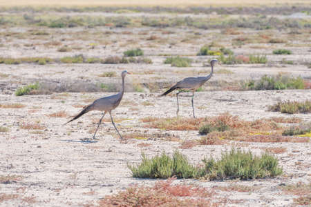 Blue Cranes walking in Etosha National Park in Namibia