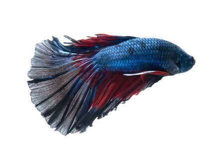 Capture the moving moment of red-blue siamese fighting fish isolated on white background. Stock Photo