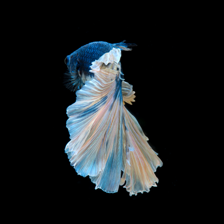 Capture the moving moment of blue siamese fighting fish isolated on black background. Betta fish.