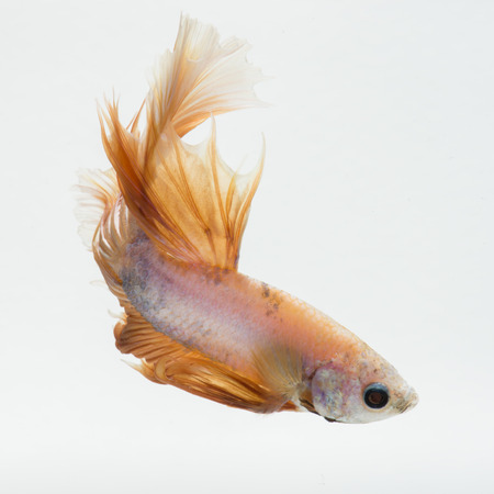 Capture the moving moment of peach color siamese fighting fish isolated on white background. Betta fish. Stock Photo