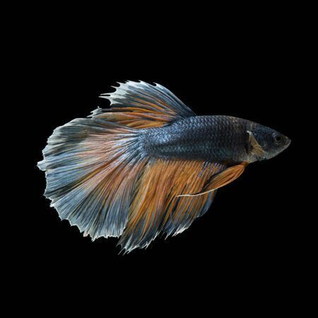 Capture the moving moment of yellow blue siamese fighting fish isolated on black background. Betta fish Stock Photo