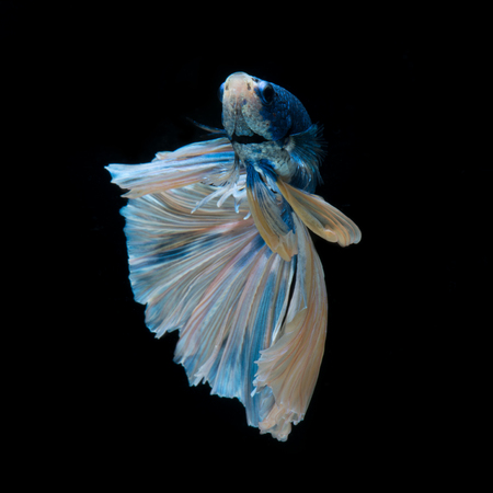 Capture the moving moment of blue siamese fighting fish isolated on black background.