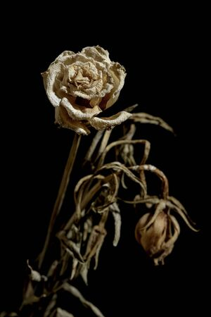 Dying flower isolated on black background Stock Photo