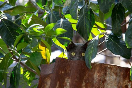 spontaneous expression: Camouflage Korat cat