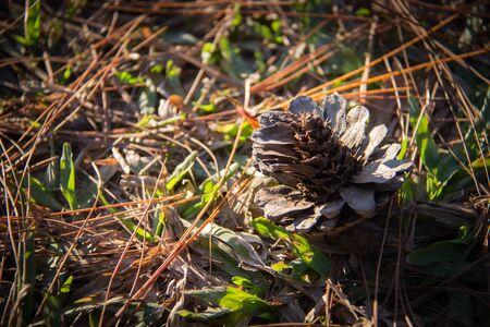 pomme de pin: C�ne de pin sur le terrain dans la nature Banque d'images