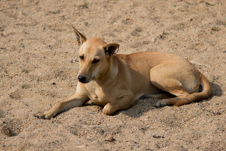 somnolent: Brown dog relaxing on sand ;emotion face Stock Photo