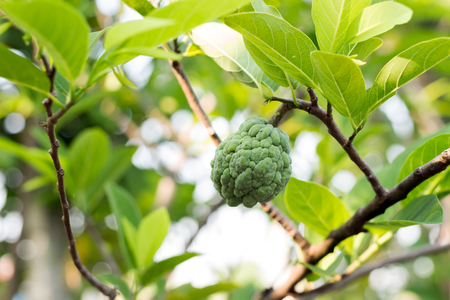 custard apple fruit: Custard apple fruit on tree