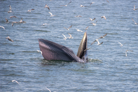 overturn: Brydes whale feeding in the Gulf of Thailand