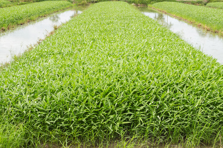 sufficiency: Vegetable plot of chinese water convolvulus Morning Glory
