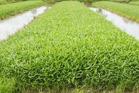 plot: Vegetable plot of chinese water convolvulus Morning Glory