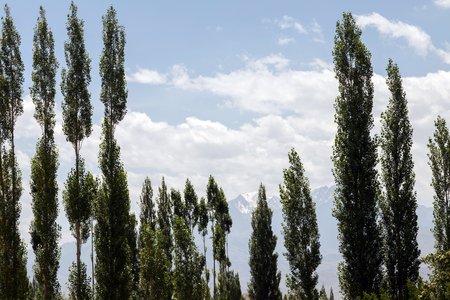 Beautiful green poplar and apple tree in summer with mountain background in Ladakh district of Jammu and Kashmir, India. Stock Photo