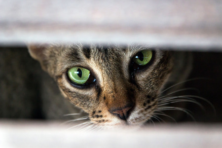 Brown tabby cat eyes stare at camera, camouflage cat.