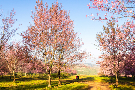 The field of blossoming pink Wild Himalayan cherry flowers (Thailand's sakura or Prunus cerasoides), known as Nang Phaya Sua Khrong in Thai at Phu Lom Lo mountain, Loei, Thailand. Stock fotó