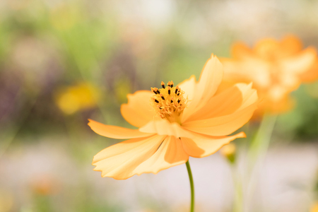 Yellow Cosmos flower blooming in the field. Sulfur cosmos with green garden background (Cosmos sulphureous).