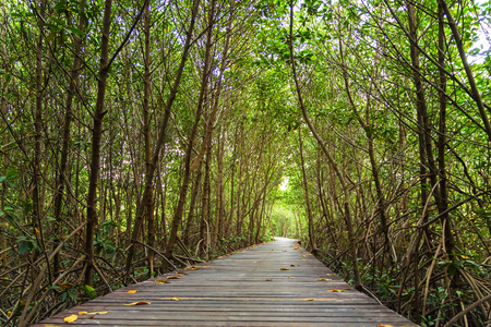 Wood bridge and natural mangrove trees. tunnel. The Laem Phak Bia Environmental Study and Development Project, Petchburi in Thailand.