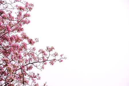 Tabebuia rosea trees or Pink trumpet blooming isolated on white sky background with copy space.