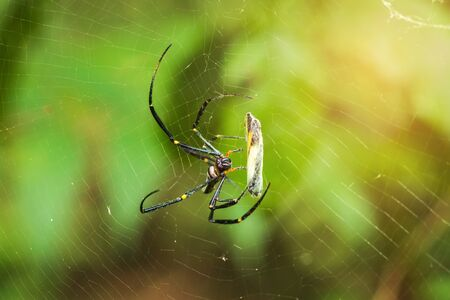 The spider catches the butterfly. Spider spin a web for catching its victims. Predator of small insects on food chain. Standard-Bild