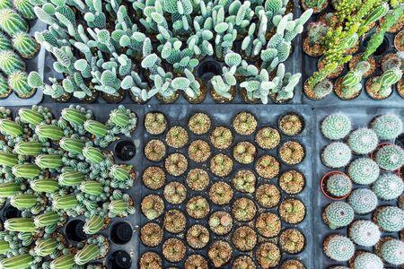 Cactus plants in pot. Beautiful little cactus background. Stock Photo