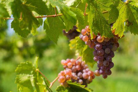 winw grape