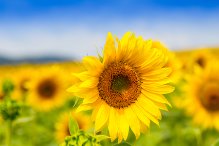 Sunflower field over cloudy blue sky (Helianthus annuus).