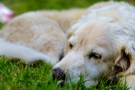 old golden retreiver lying in garden in the green grass. close up