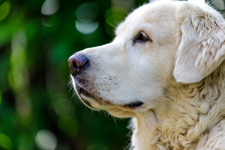head of old golden retreiver looking at the distance . close up.