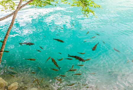 Pretty fishes swim in the crystal clear blue water at the shore of the lake. Plitvice National Park, Croatia