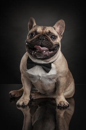 Studio photo of french bulldog isolated over black background 版權商用圖片