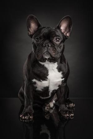Studio foto van franse bulldog geïsoleerd op een zwarte achtergrond