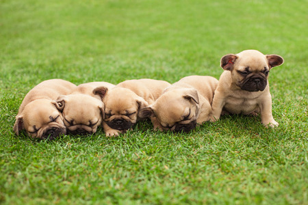closeup puppy: little sleeping French bulldog puppies lying on a beautiful green grass