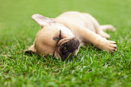 little sleeping French bulldog puppie lying on a beautiful green grass