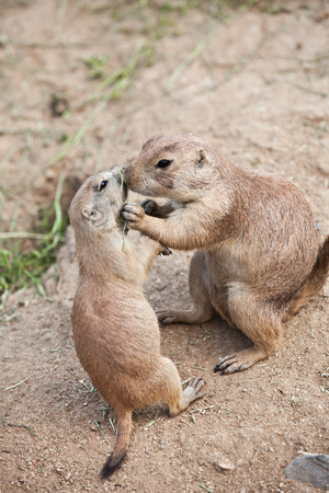 tailed: Black-tailed prairie dog on zoo