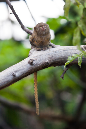 pygmy: Pygmy marmoset (Cebuella pygmaea) closeup on zoo Stock Photo