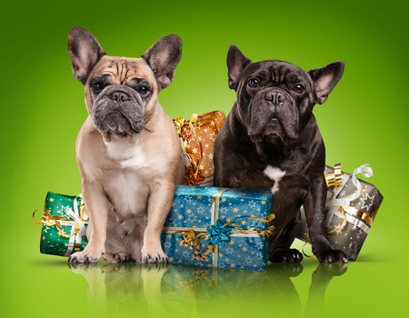 black blue: French bulldogs with christmas gifts isolated over green background Stock Photo