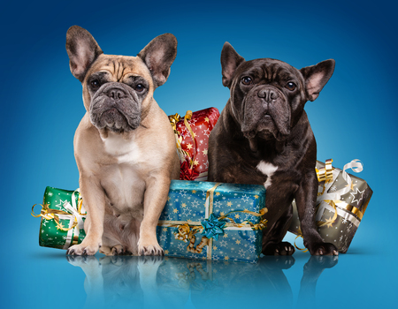 black dog: French bulldogs with christmas gifts isolated over blue background
