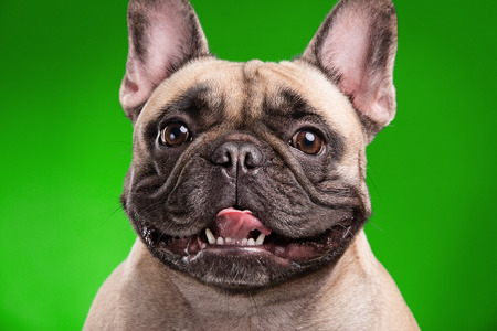 retouched: French bulldog isolated over green background, retouched Stock Photo
